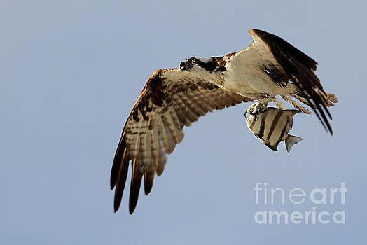 Osprey  by Meg Rousher
