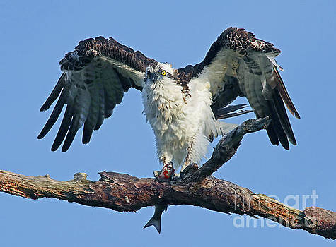 Osprey - The Shakeoff by Larry Nieland