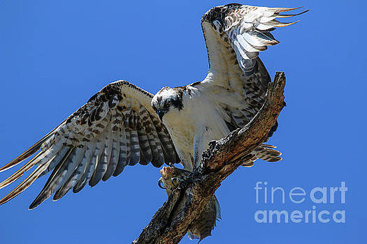 Osprey with Catch 9368 by Craig Corwin