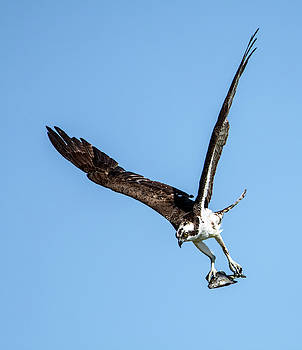 Osprey with Fish 7052-041419 by Tam Ryan