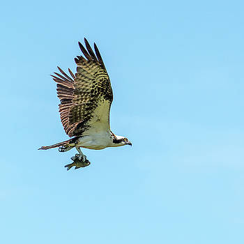 Osprey with Fish 7062-041419 by Tam Ryan