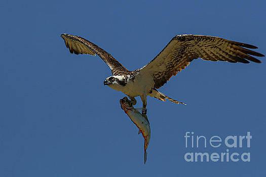 Osprey with Fish 7707 by Craig Corwin