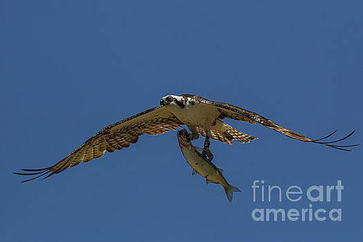 Osprey with Fish 7712 by Craig Corwin