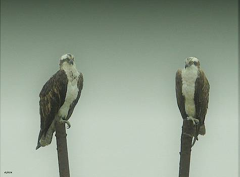 Osprey's a Pair by John R Williams