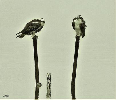 Osprey's Perched on Pipes by John R Williams