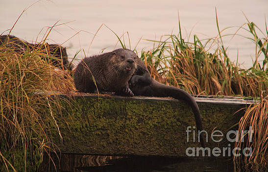 Otter on the boat ramp by Jeff Swan