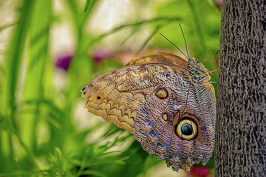 Owl Butterfly by Susan Rydberg