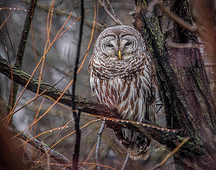 Owl by Crystal Socha