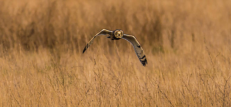 Owl Fying Above Samish Flats by Marv Vandehey