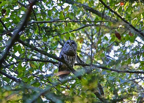Owl by Gillis Cone