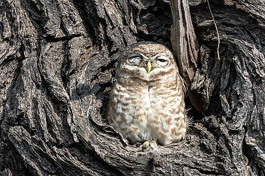 Pravine Chester - Owl in a tree