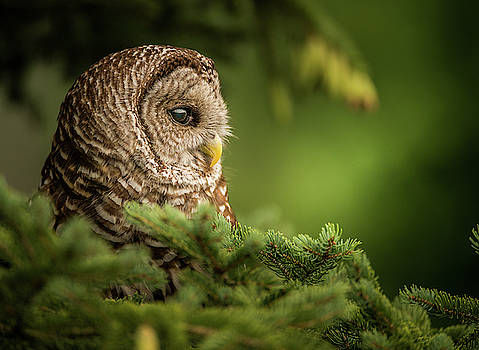 Owl in Tree by Jeffrey Klug