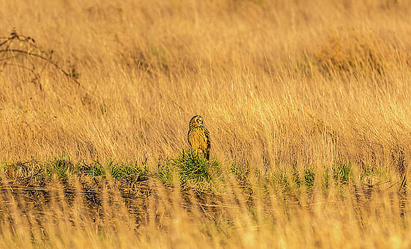 Owl Standing in Golden Field by Marv Vandehey