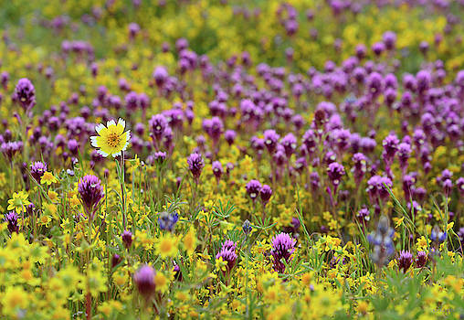 Owl's Clover and Wildflowers at Shell Creek by Kathy Yates