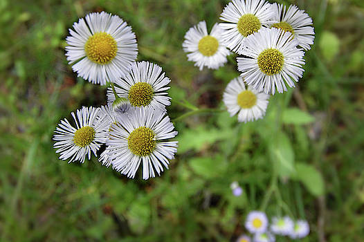 Ox Eye Daisy by Laura Ragland