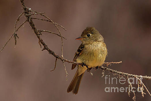 Pacific Slope Flycatcher 2982 by Craig Corwin