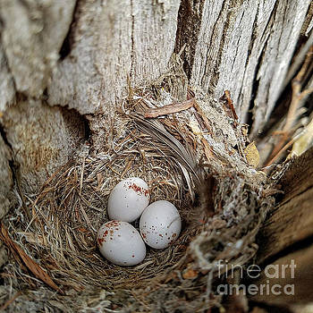 Pacific Slope Flycatcher Nest 132521 by Craig Corwin