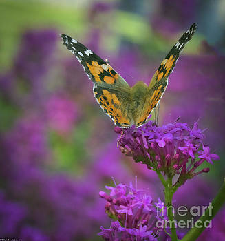 Painted Lady 2 by Mitch Shindelbower