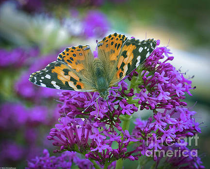 Painted Lady 3 by Mitch Shindelbower