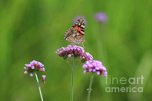 Painted Lady Butterfly Beauty by Karen Adams