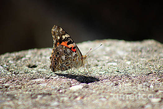 Painted Lady Butterfly Dark and Light by Karen Adams