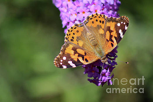 Painted Lady Butterfly in October by Karen Adams