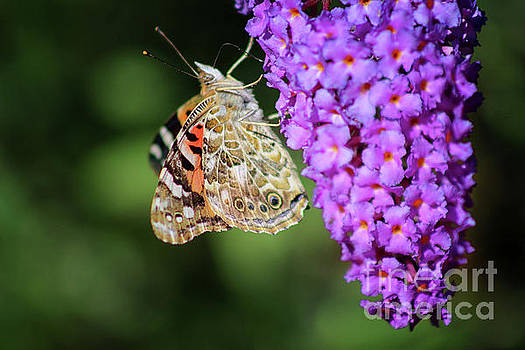 Painted Lady Butterfly on Purple Buddleia by Karen Adams