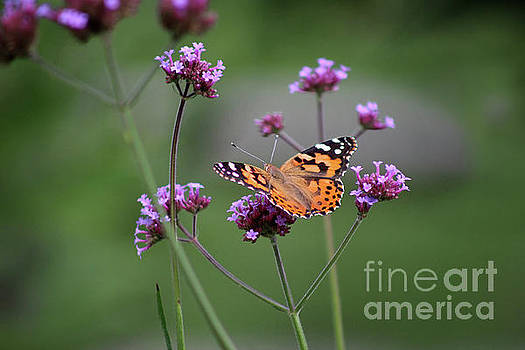 Painted Lady Butterfly Solo on Verbena by Karen Adams