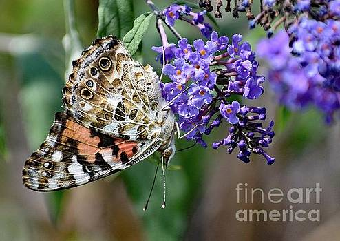 Cindy Treger - Painted Lady Hanging In There