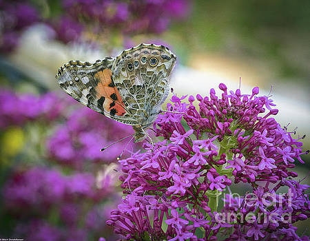 Painted Lady by Mitch Shindelbower