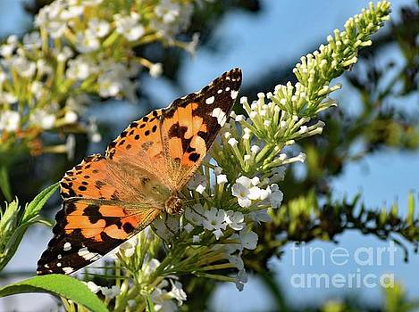 Cindy Treger - Painted Lady on White Butterfly Bush