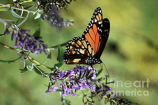 Skip Willits - PAINTED MONARCH AT REST
