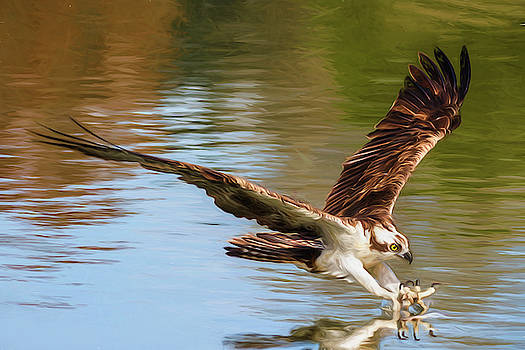 Painted Osprey Dive by Wes and Dotty Weber