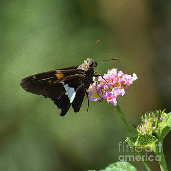 Skip Willits - PAINTED SPOTTED SKIPPER BUTTERFLY