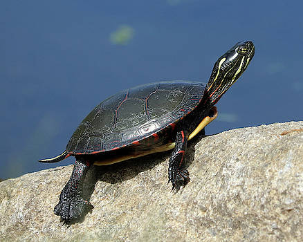 Painted Turtle On A Rock by Doris Potter