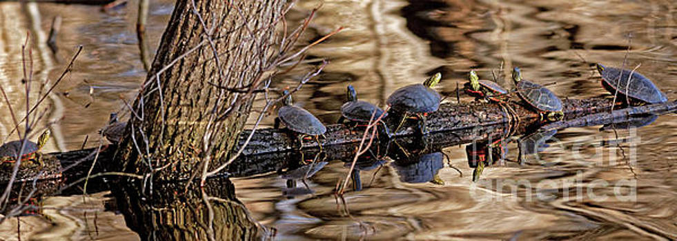 Painted Turtles at Wood Lake in Minneapolis Minnesota by Natural Focal Point Photography
