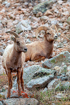 Steve Krull - Pair of Bighorn Sheep in the Mountains