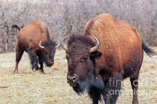 Pair of Colorado Bison by Steve Krull