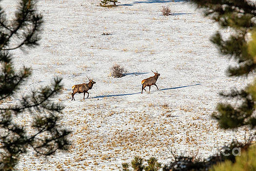 Pair of Elk in the Rocky Mountain Snow by Steve Krull