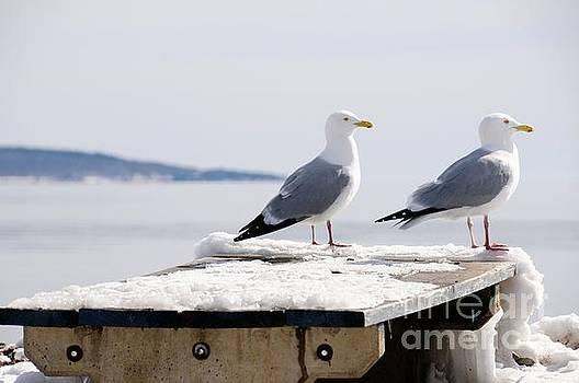 Pair of Gulls by Sandra Updyke