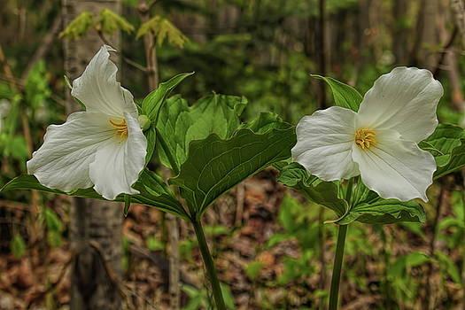 Dale Kauzlaric - Pair of Trilliums