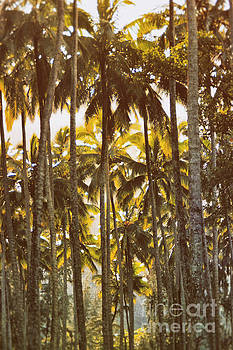 Palm Trees in Kahana Valley  by Thomas R Fletcher
