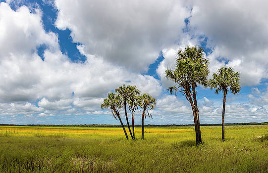 Palm Trees In The Field Of Coreopsis by Panoramic Images