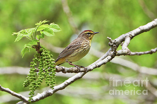 Palm Warbler in Meditation by Anita Oakley