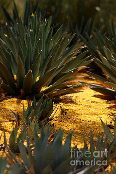 Palo Brea Blossoms Covering Agave Gardens by Colleen Cornelius