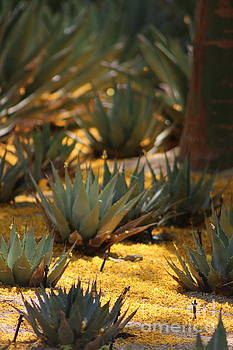 Palo Brea Flowers Covering Agave at Sunnyland by Colleen Cornelius