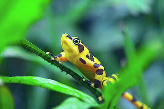 Panamanian Golden Frog by SR Green