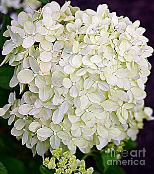 Panicle Hydrangea by Kathleen Struckle