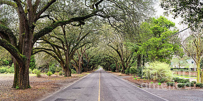 Panorama of South Boundary Avenue of Live Oaks in Aiken South Carolina by Silvio Ligutti