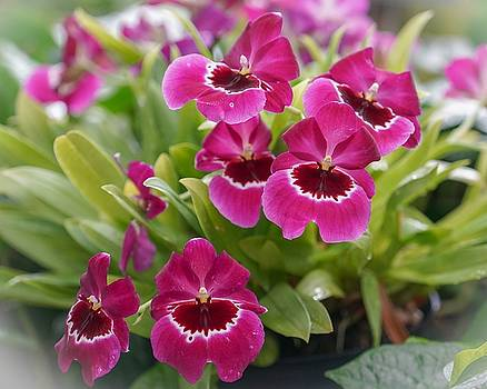Pansy Orchids by Susan Rydberg